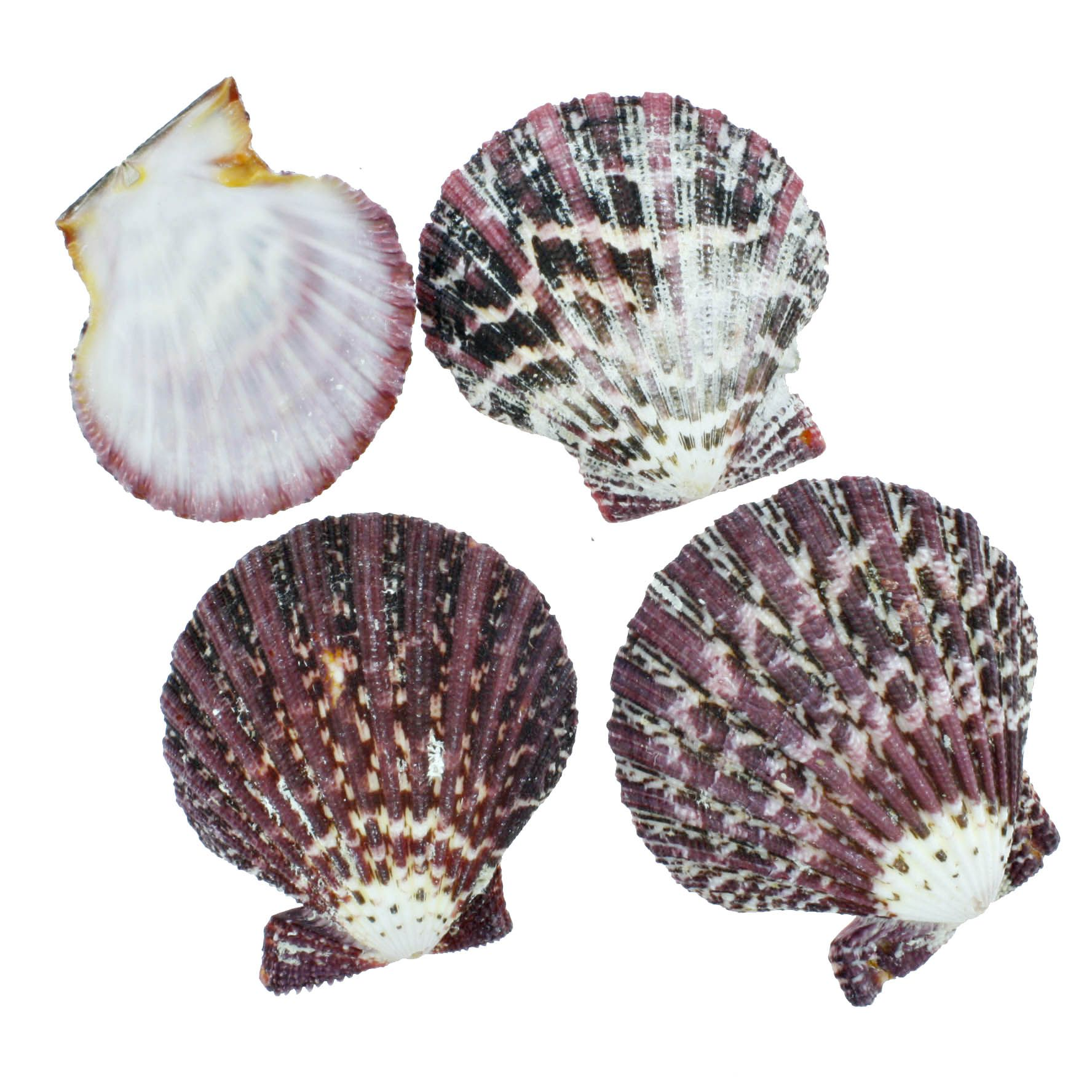 Concha - Gloria Pallium (Scallop Shell)  - Stéphanie Bijoux® - Peças para Bijuterias e Artesanato