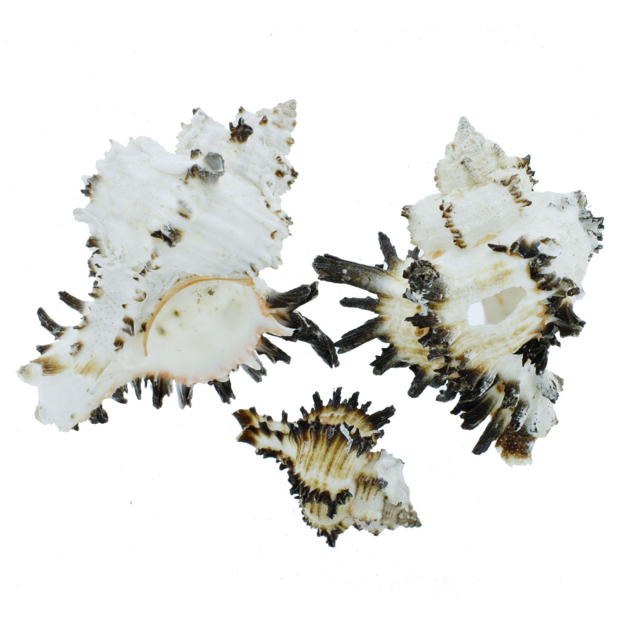 Concha - Murex Endive (Chicoreus Cichoreum)  - Stéphanie Bijoux® - Peças para Bijuterias e Artesanato