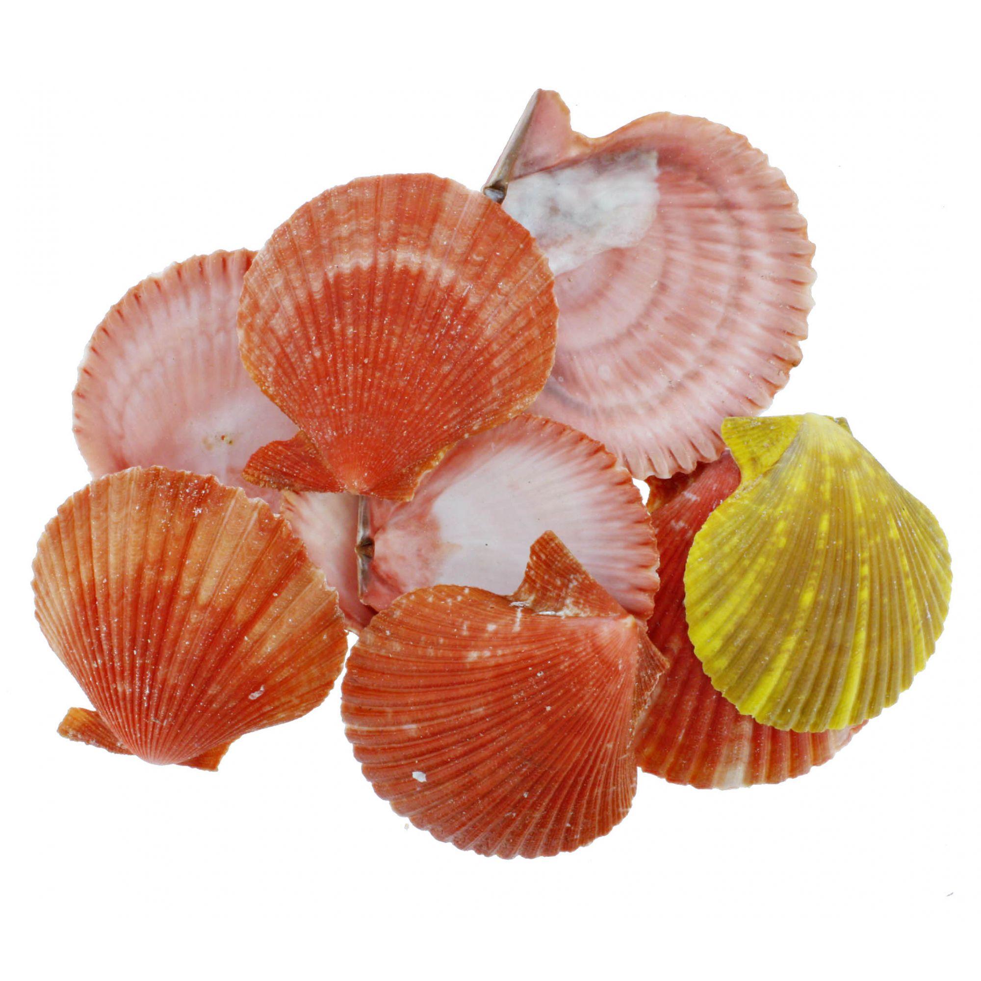 Concha - Pecten Nobilis Colored  - Stéphanie Bijoux® - Peças para Bijuterias e Artesanato