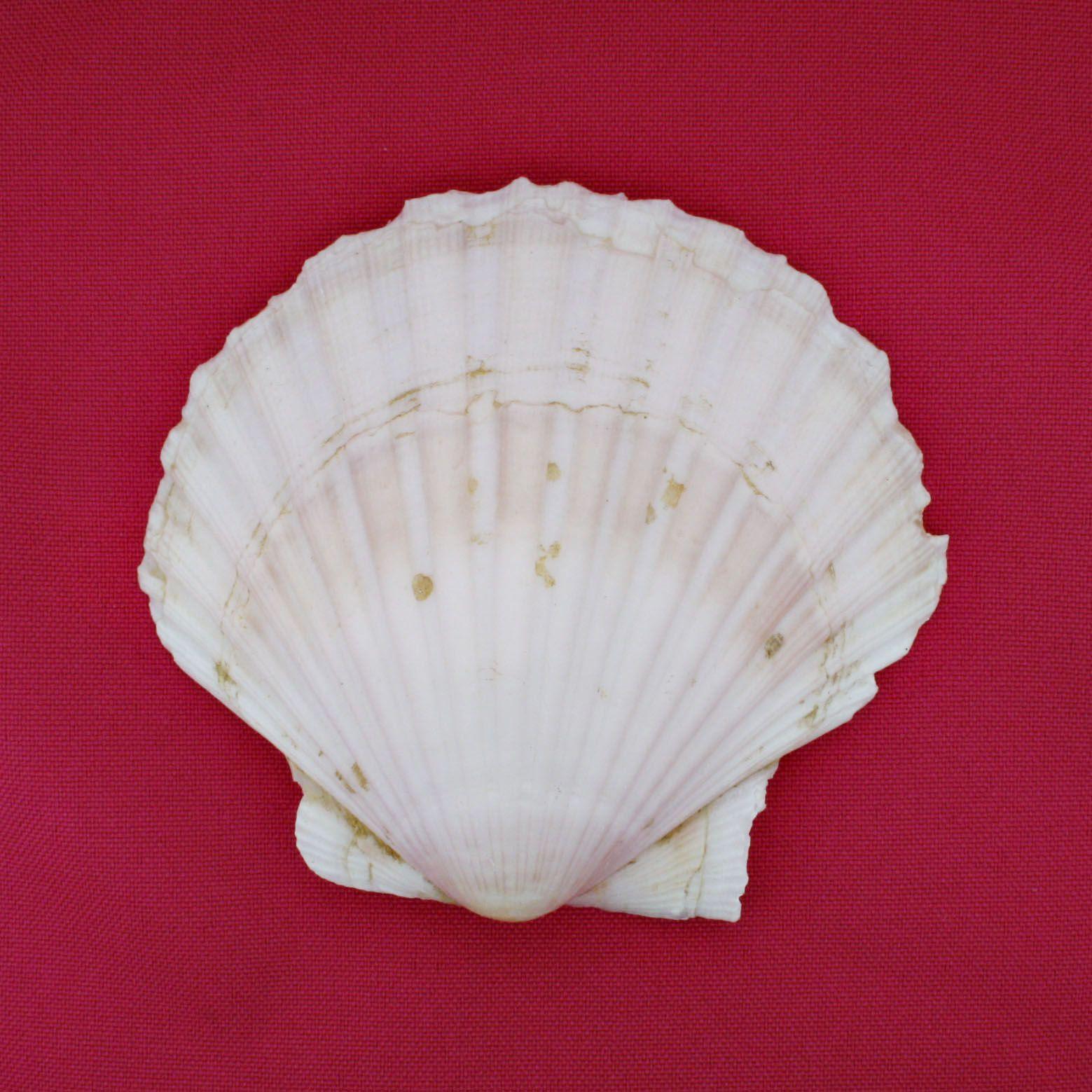 Concha - Pecten White Scallop (Trachycardium)  - Stéphanie Bijoux® - Peças para Bijuterias e Artesanato