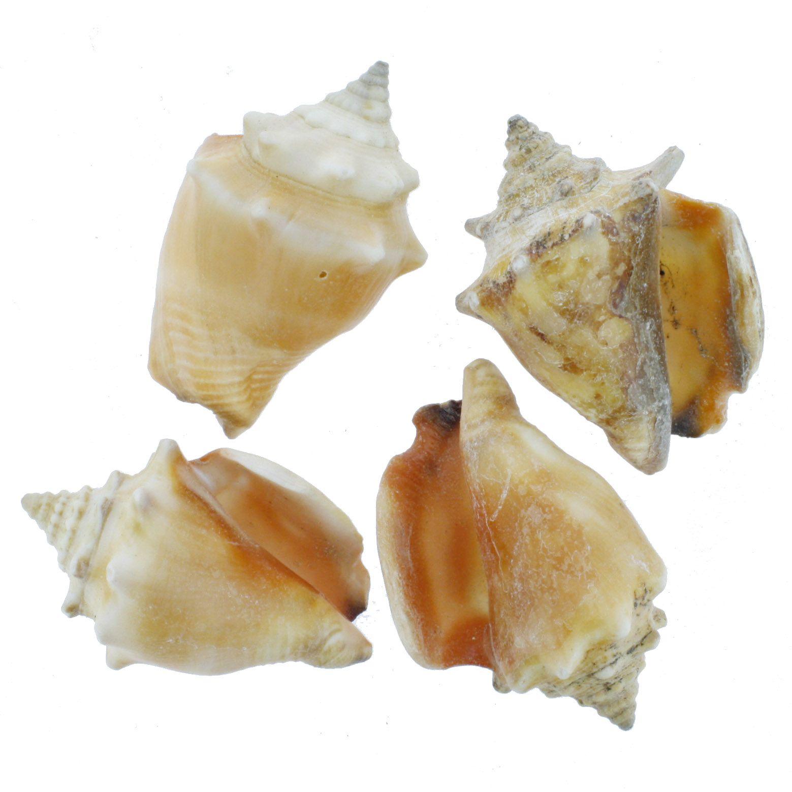 Concha - Peguari (Strombus Pugilis)  - Stéphanie Bijoux® - Peças para Bijuterias e Artesanato