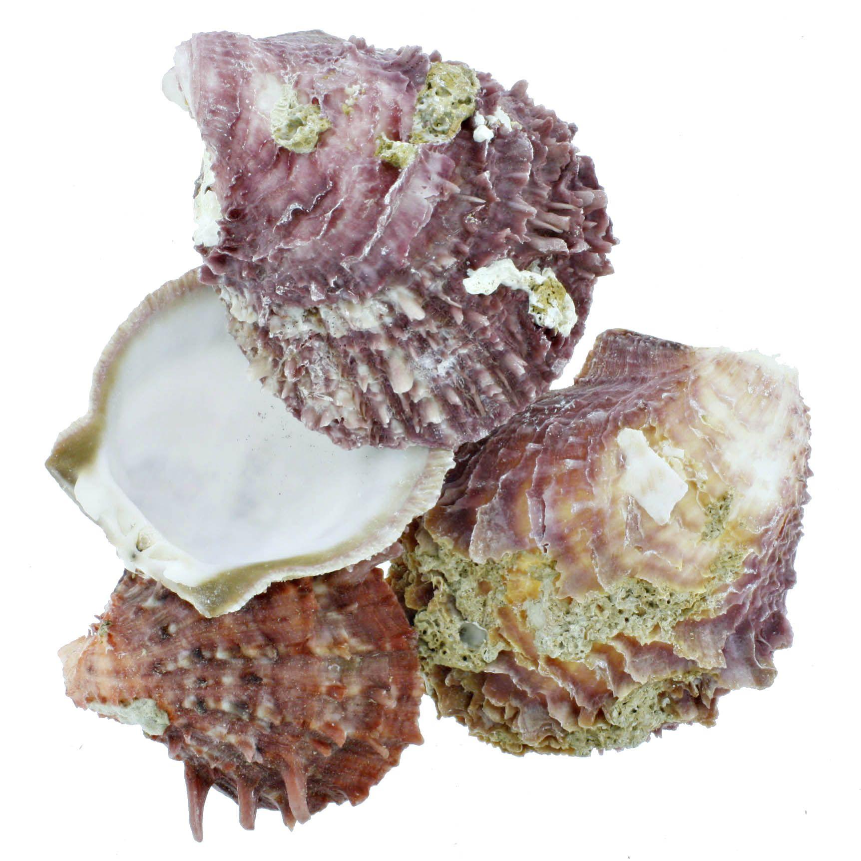 Concha - Spondyllus Barbatus Violet  - Stéphanie Bijoux® - Peças para Bijuterias e Artesanato