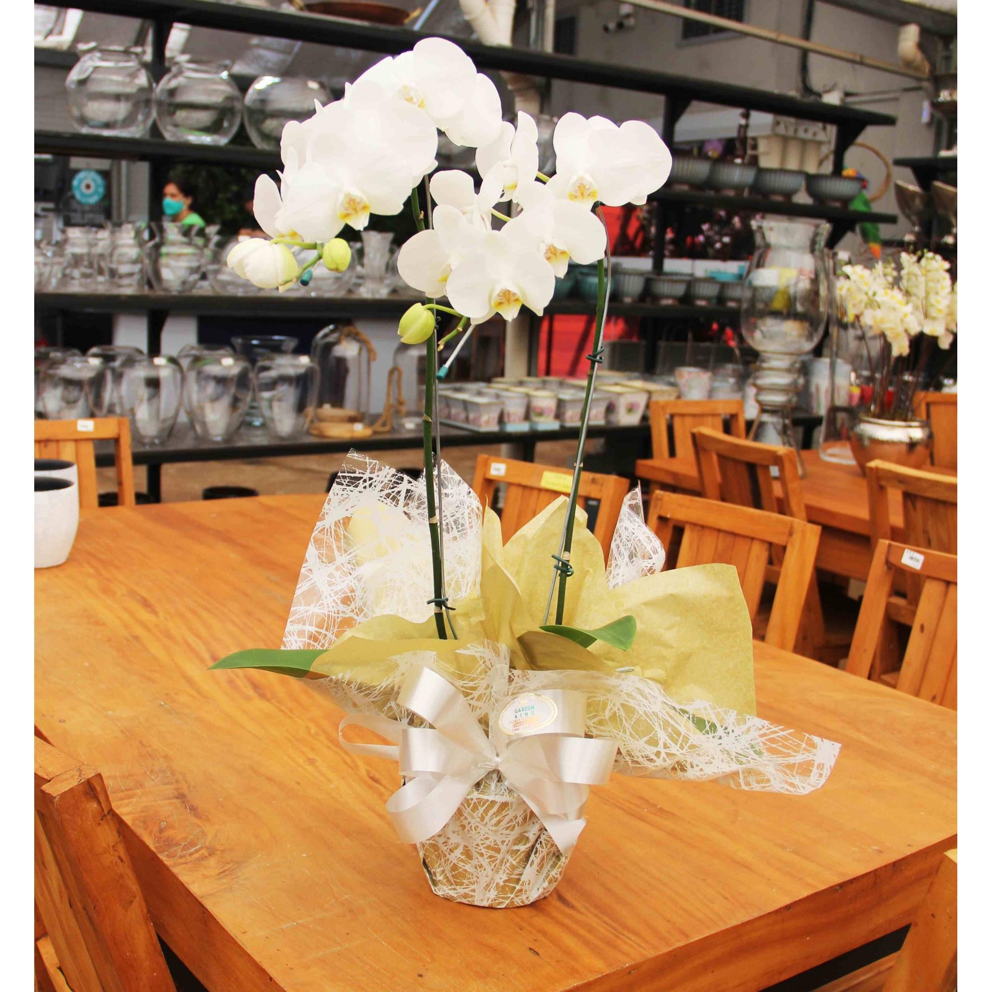 Orquídea Phalaenopsis Branca - Dia das Mães