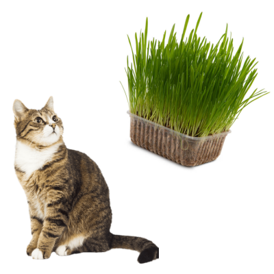 Kit 2 graminhas gato e cachorro Zoe Pet 100% natural