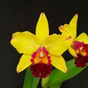 Blc. Catarina Hong - Adulta