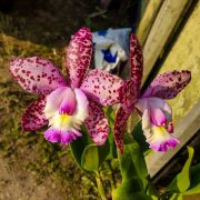 Blc. Cruzeiro do Sul Pink Spots - Adulta