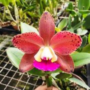 ORQUÍDEA CATTLEYA Blc. Durigan Crater - Adulta