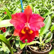 "Blc. Edisto ""New Berry"" x Blc. Chunyeah 17 - Adulta"