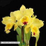 ORQUÍDEA CATTLEYA Blc. Goldenzelle 'Lemon Chiffon' - Tamanho 3