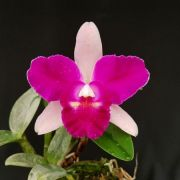 Blc. Lucky Man X Lc. Netrasiri Beauty - Adulta
