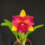 Blc. Nobiles Tropical Sunset - Adulta
