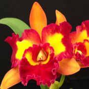 ORQUÍDEA CATTLEYA Blc. Nobile´s Tropical Sunset 'Tao' - Adulta