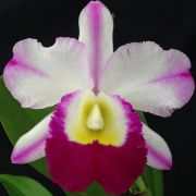 Blc. Robert Strait 'Hawaii' - Adulta