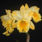 ORQUÍDEA CATTLEYA Blc. Suzuki's Golden Stripes - Adulta