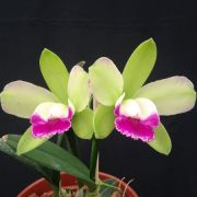 Blc. Village C. North Green Elfin - Adulta