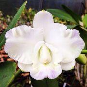 C. Hamana Surprise 'White Bee' - Adulta Código: AHMRKQ