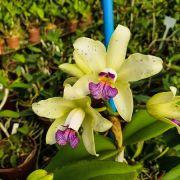 Cattleya Amethystoglossa Coerulea - Adulta