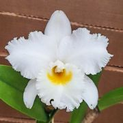 Cattleya Virgínia Ruiz - Adulta