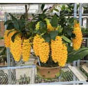 Dendrobium Densiflorum Adulta