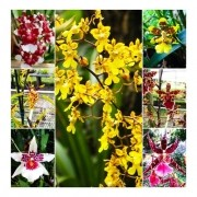 KIT 10 ORQUIDEAS ONCIDIUM