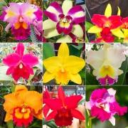 Kit 10 mudas Orquídeas Cattleya