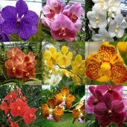 Kit 3 mudas jovens de Orquídea Vanda