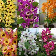 Kit 5 mudas de Orquídea Dendrobium
