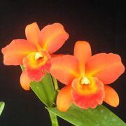 Lc. Suzuki's Red Star 'Orange Show' - Adulta