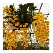 Muda De Orquidea Dendrobium Agregatum Adulta