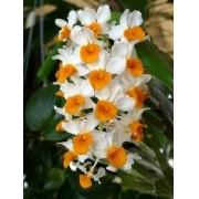 Muda De Orquidea Dendrobium Pendente Thyrsiflorum Adulta