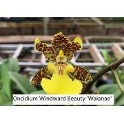 Oncidium Windward Beauty Waianae - Tamanho 3