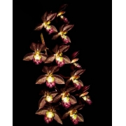 Orquídea Catasetum Saccatum Clowesia Kengar
