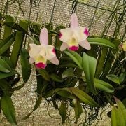 ORQUÍDEA CATTLEYA Slc. Cherry Bee no Leque - Adulta