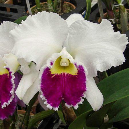 Blc. Mildred Rives Orchid Glade - Tamanho 3  - ORQUIDEA GARDEN