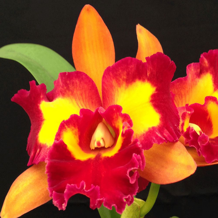 ORQUÍDEA CATTLEYA Blc. Nobile´s Tropical Sunset