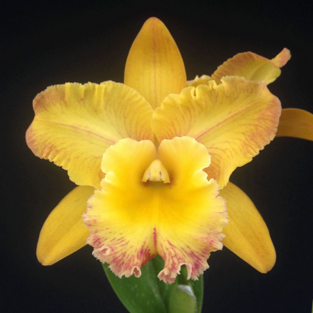 Blc. Toshie Flare