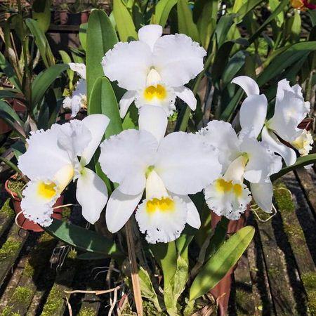 Cattleya Virgínia Ruiz - Adulta  - ORQUIDEA GARDEN