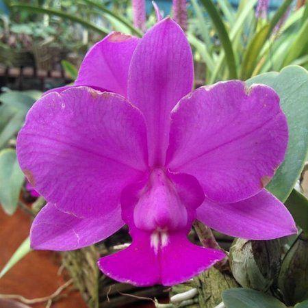Cattleya Walkeriana Feiticeira - Tamanho 1  - ORQUIDEA GARDEN
