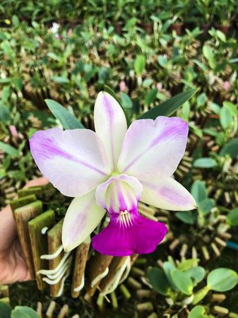 Cattleya Walkeriana S/A Flamea Tokutsu -Tamanho 3  - ORQUIDEA GARDEN