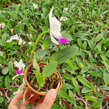 Cattleya Walkeriana S/A Tokio n1 - Adulta  - ORQUIDEA GARDEN