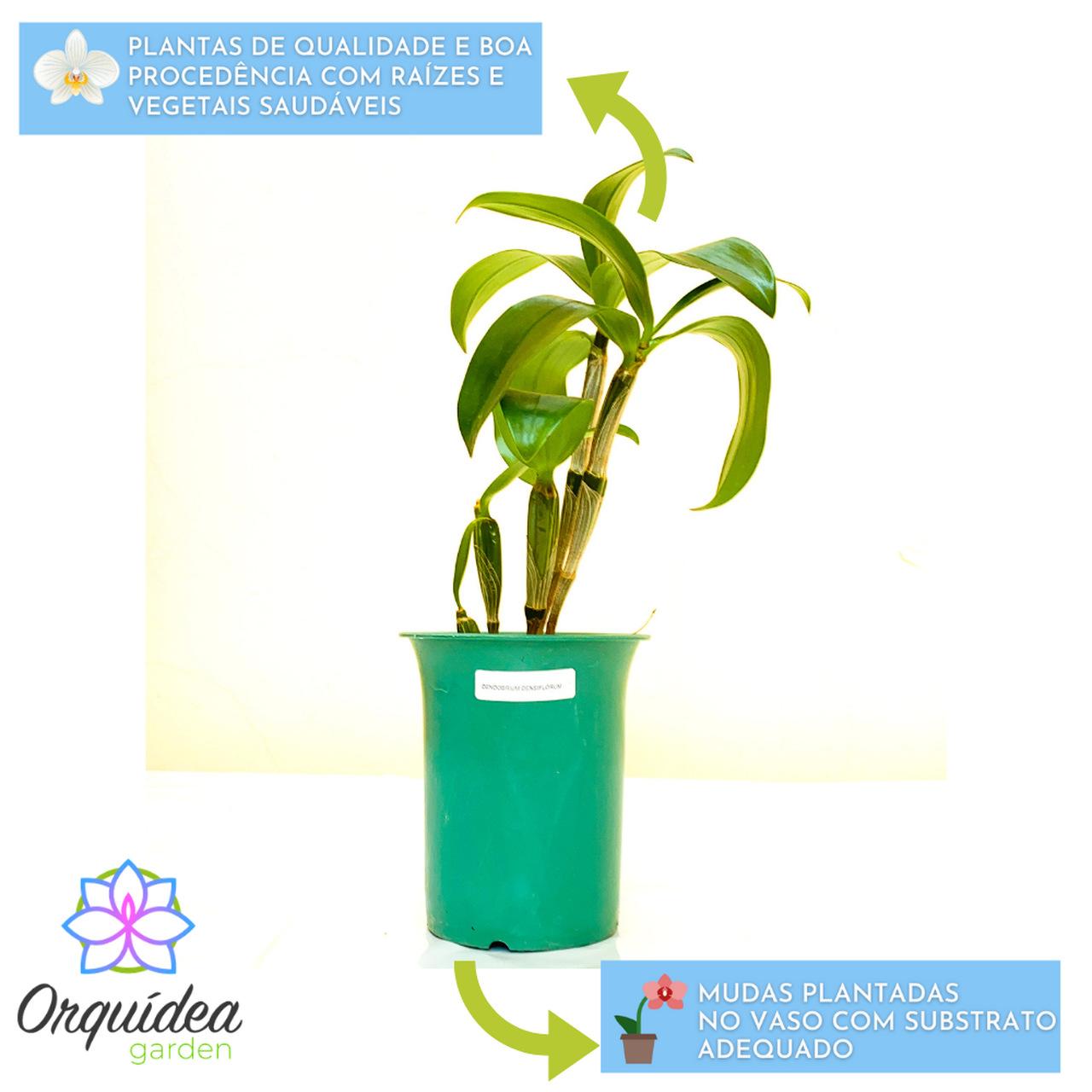 Dendrobium Densiflorum Adulta  - ORQUIDEA GARDEN