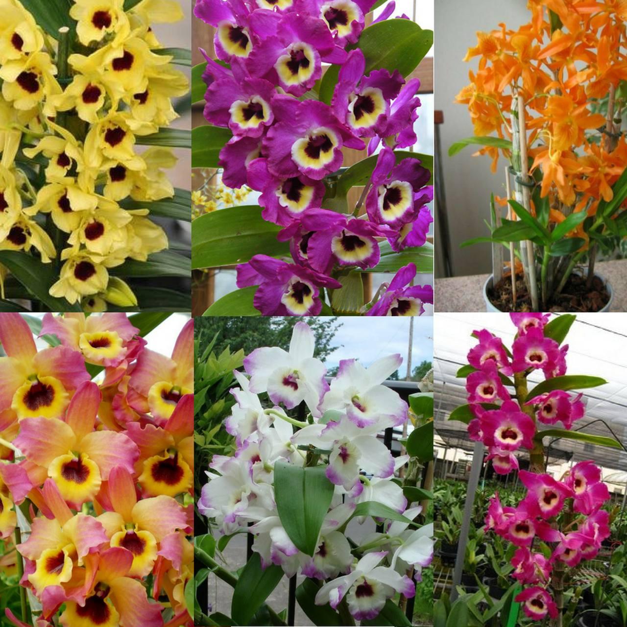 Kit 10 mudas de Orquídea Dendrobium  - ORQUIDEA GARDEN