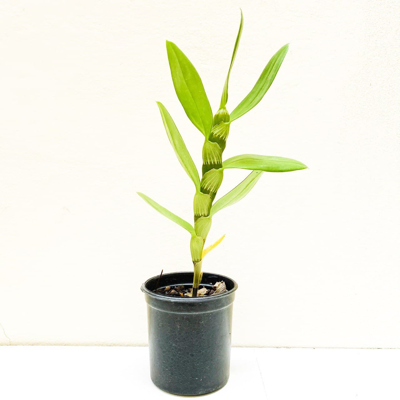 Kit 10 mudas Orquídeas Dendrobium Adultas  - ORQUIDEA GARDEN