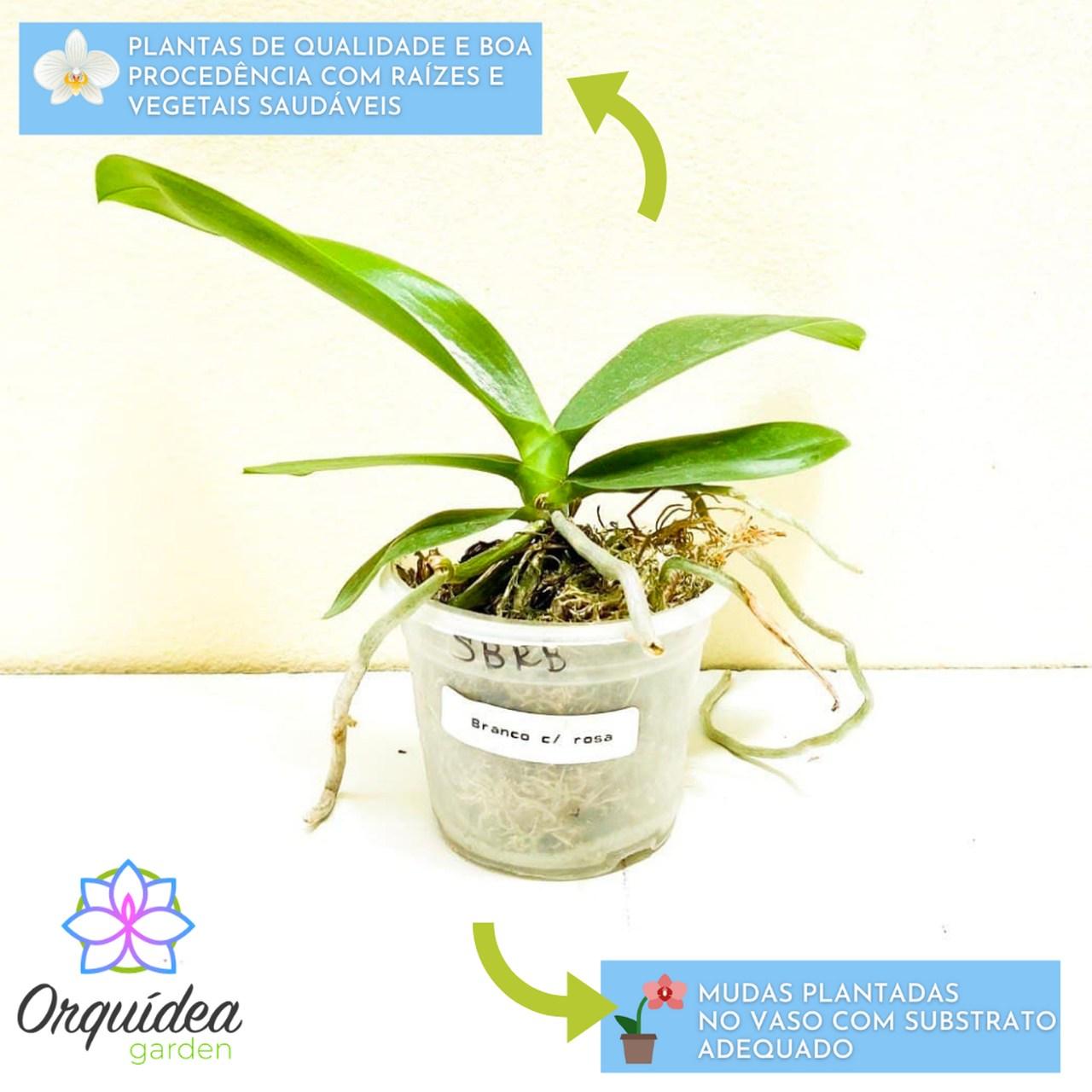 kit 10 mudas Orquídea Phalaenopsis  - ORQUIDEA GARDEN