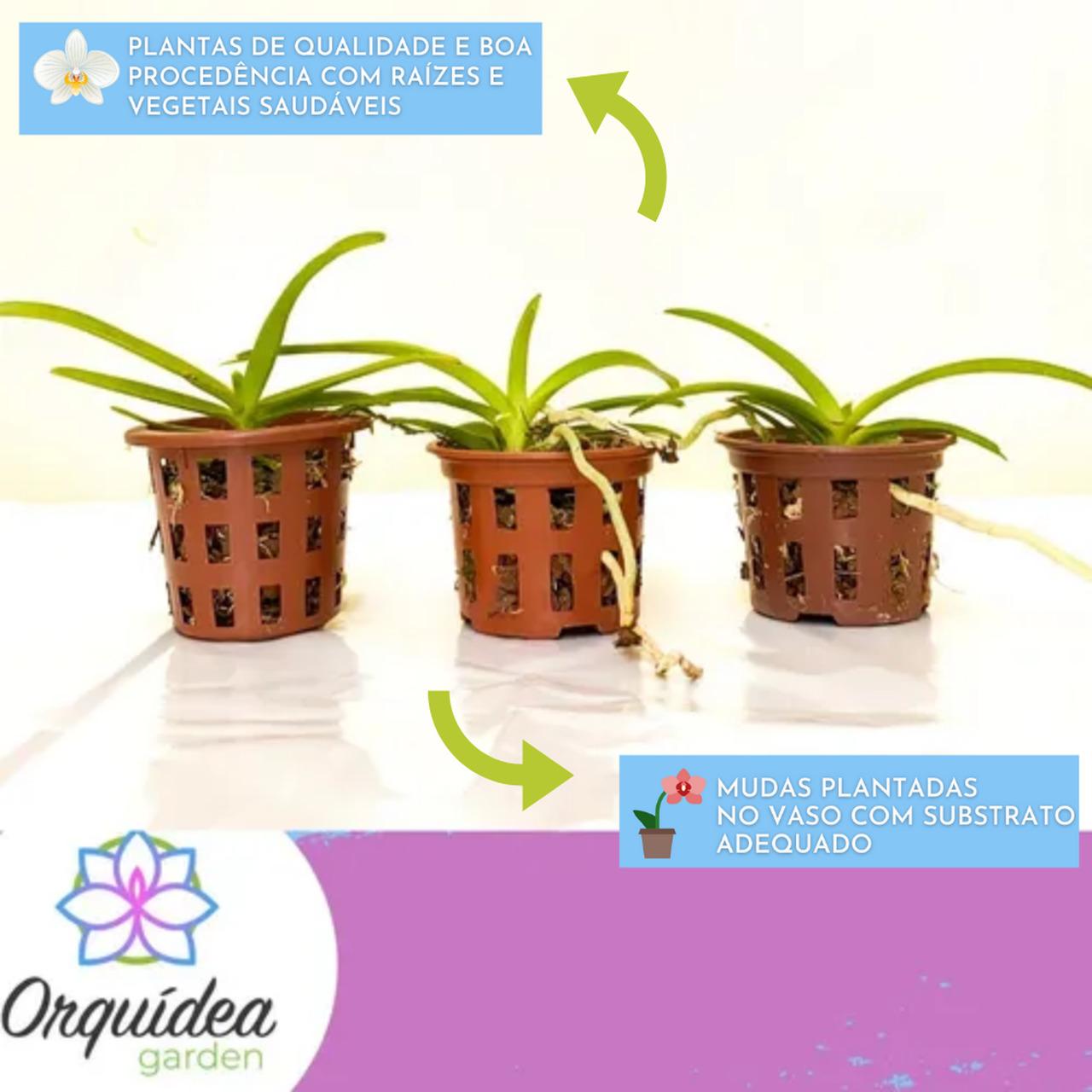 Kit 3 Mudas Orquídeas Vanda jovens  - ORQUIDEA GARDEN