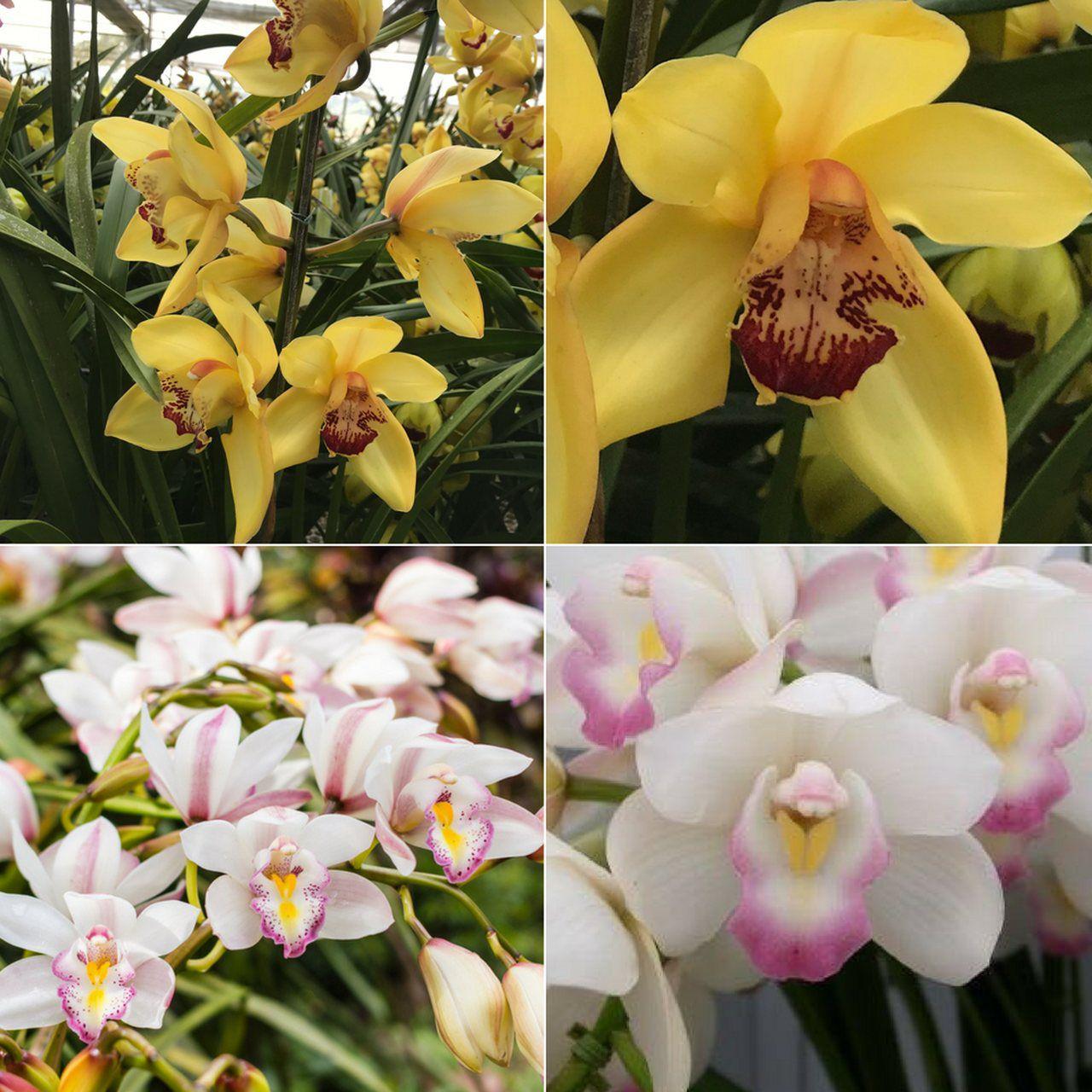 Kit 5 Mudas Orquídea Cymbidium ADULTAS  - ORQUIDEA GARDEN