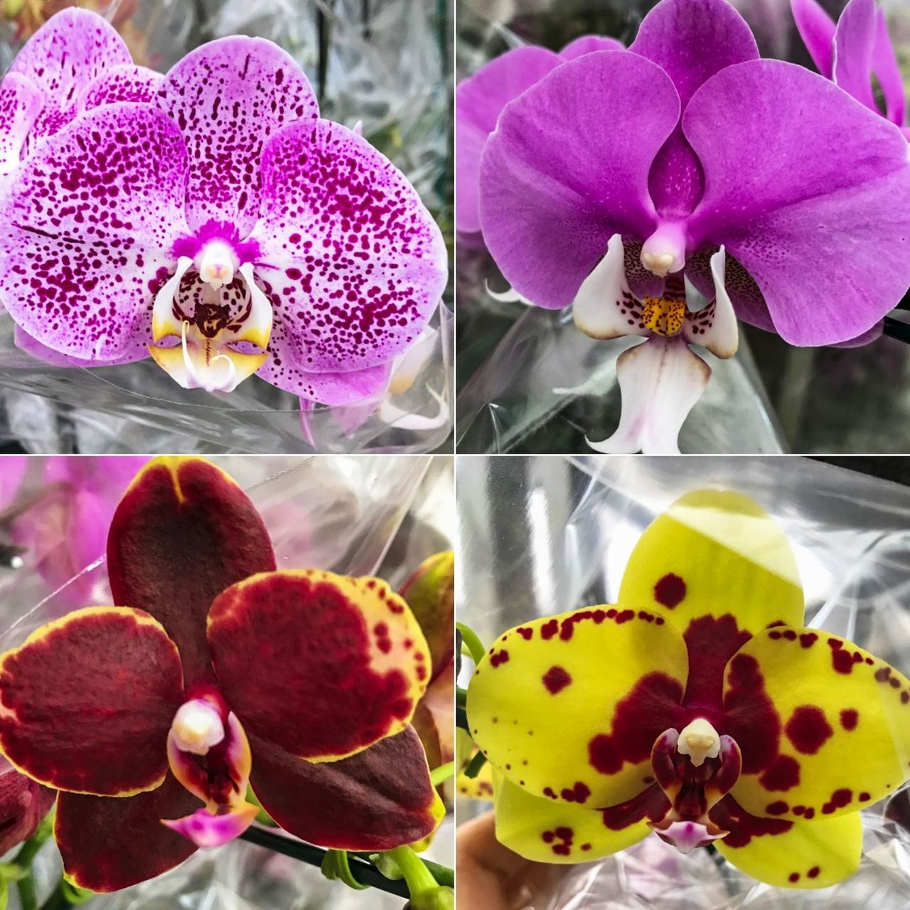 kit 10 mudas de Orquídea Phalaenopsis  - ORQUIDEA GARDEN