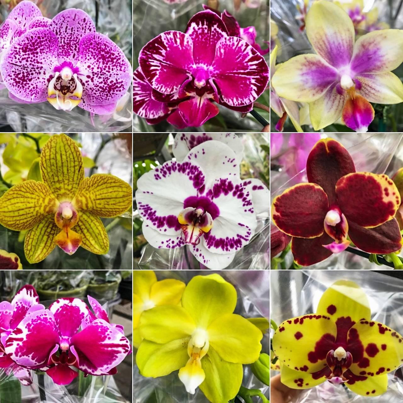 kit 5 mudas de Orquídea Phalaenopsis  - ORQUIDEA GARDEN