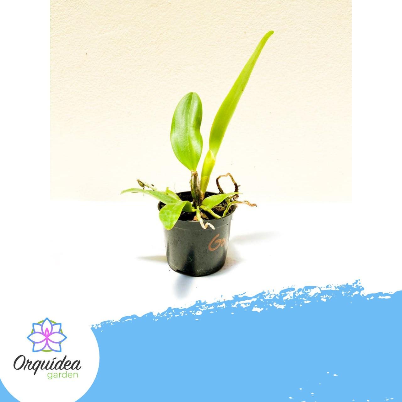 ORQUÍDEA CATTLEYA Lc. Mini Song Petite - Tamanho 3  - ORQUIDEA GARDEN