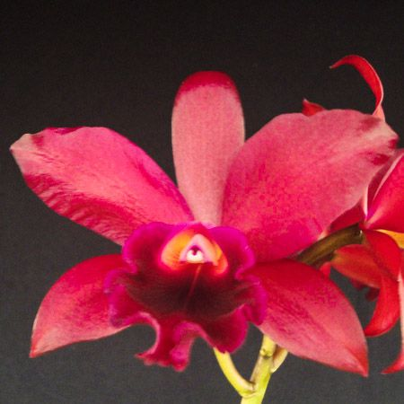 Lc. Suzuki´s Red Star - Adulta  - ORQUIDEA GARDEN